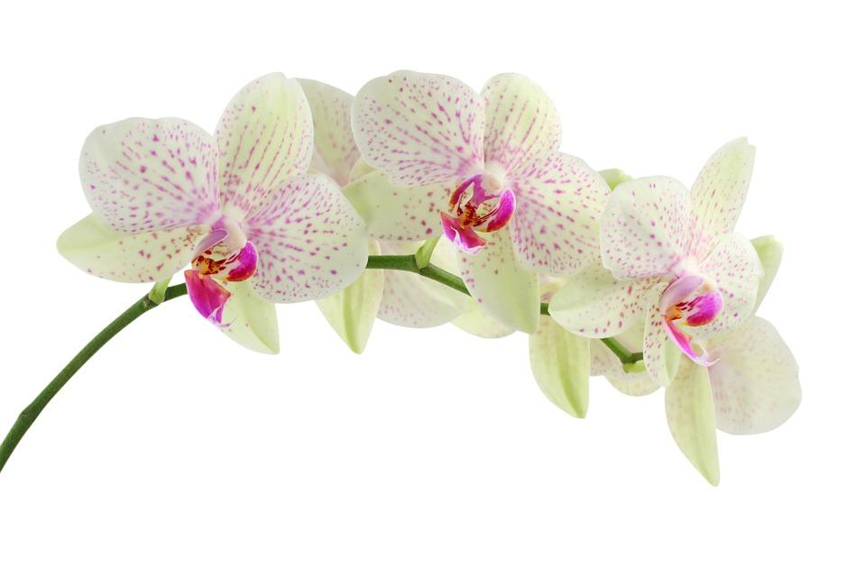 faire fleurir deux fois orchidée